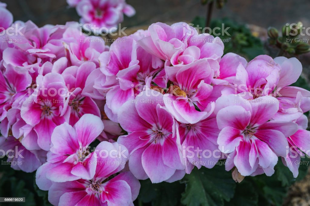 Close up of beautiful pink Impatiens flower in small garden photo libre de droits