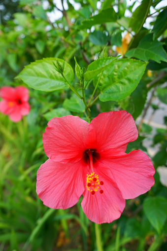 Close up of Beautiful red flower called red Hibiscus