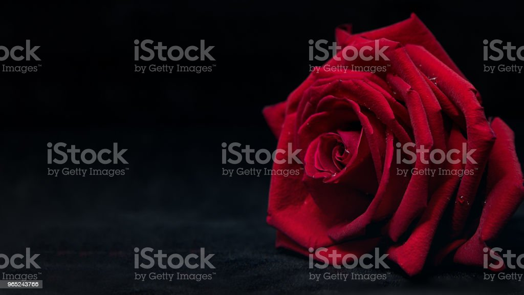 Close up of beautiful red rose on black background zbiór zdjęć royalty-free