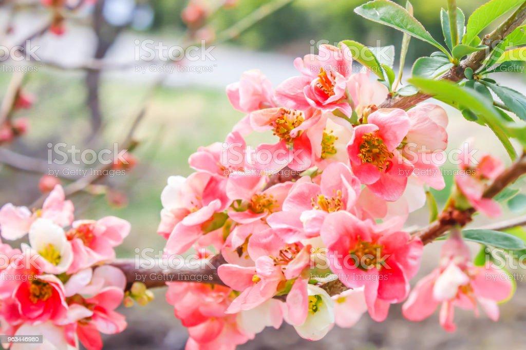 Gros beau rouge Sakura. Cerisiers en fleurs au printemps. Japon - Photo de Arbre libre de droits