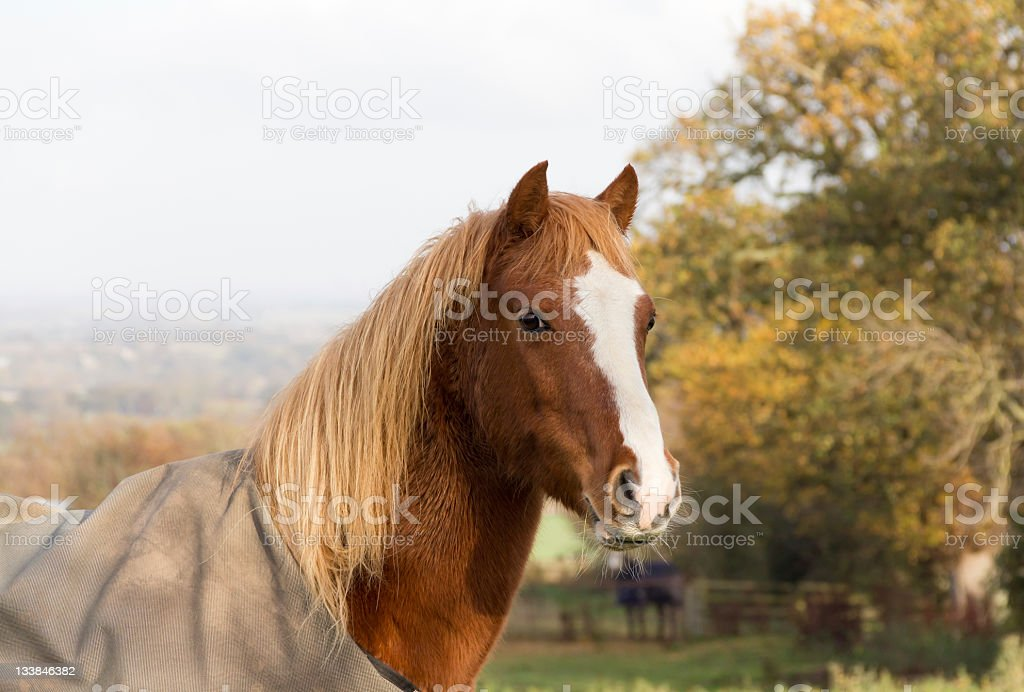 Close up of beautiful rugged chestnut pony. royalty-free stock photo