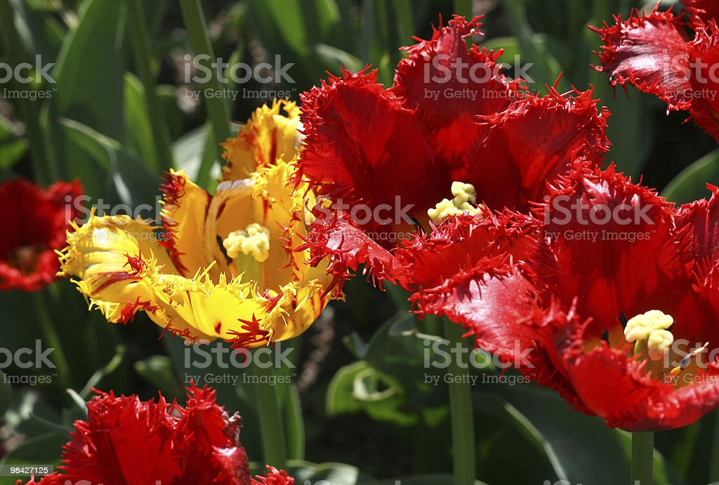 Close up of beautiful tulips royalty-free stock photo