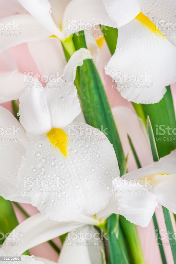 Close up of Beautiful White Iris Flowers stock photo