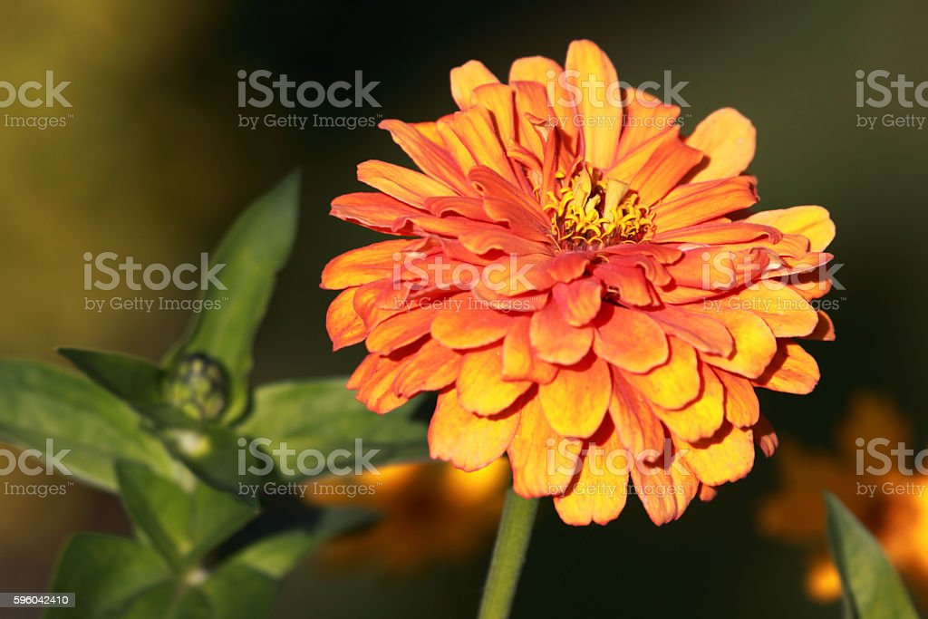 Close up of beautiful Zinnia flower royalty-free stock photo