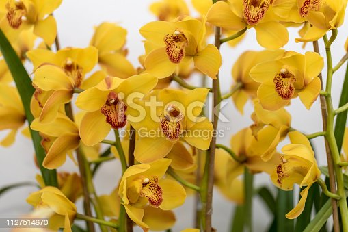 Close up of  beauty yellow orchid flower