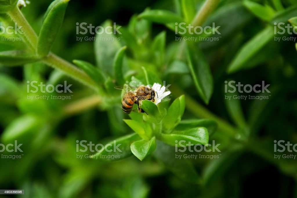 Close up of bee collecting pollen stock photo