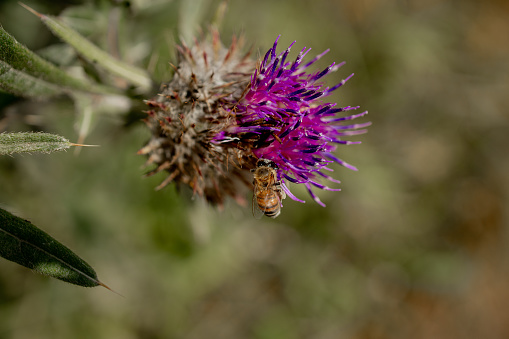 Buzzing and pollinating insects on thistle flowers