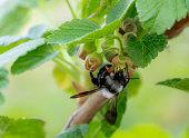 grey mining bee, ashy mining bee