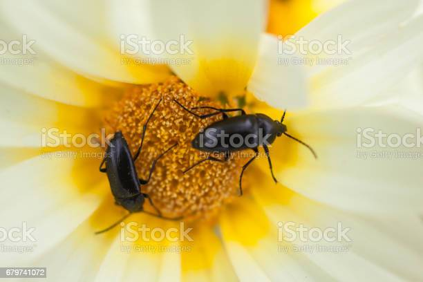 Located in Pani Hill overlooking the city of Athens, a pair of Beetles (Melanotus Rufipes) feed on White-Yellow Daisies (Chrysanthemum coronarium) in early Spring, a few hours before sunset.