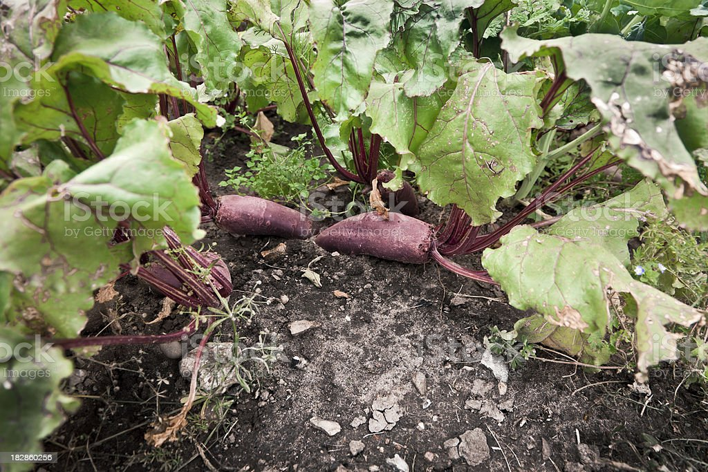 Close up of beetroot in soil royalty-free stock photo