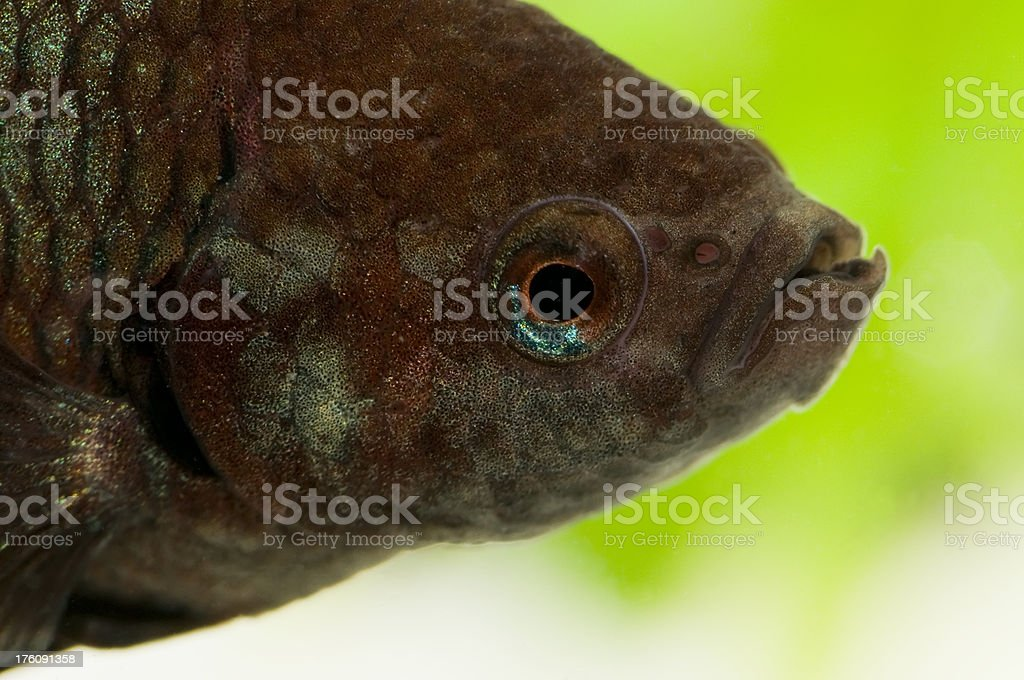 Close Up Of Betta Fish royalty-free stock photo