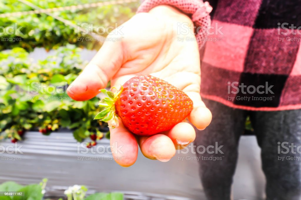 Close up of Big strawberry on hand  in strawberry farm,Japan royalty-free stock photo