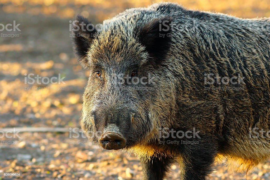 close up of big wild boar close up of big wild boar ( Sus scrofa ) in sunset light Wild Boar Stock Photo