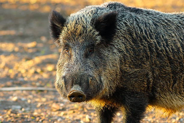 close up of big wild boar close up of big wild boar ( Sus scrofa ) in sunset light wild boar stock pictures, royalty-free photos & images