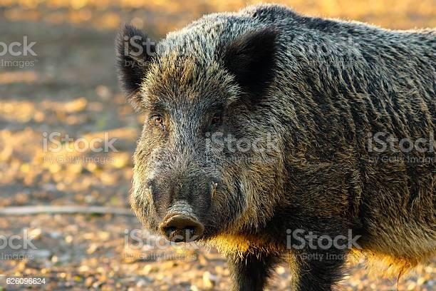 Close Up Of Big Wild Boar Stock Photo - Download Image Now