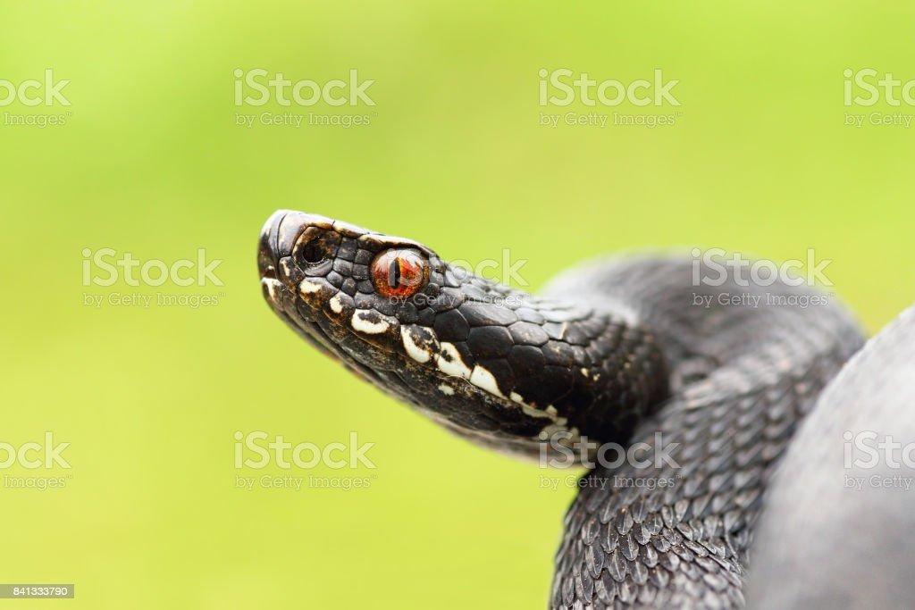 close up of black european common viper ready to strike stock photo