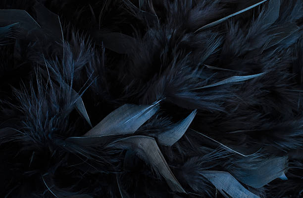 Best Black Feather Stock Photos Pictures Royalty Free