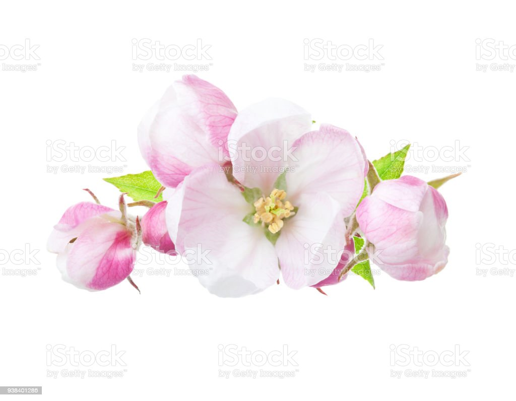 Close up of blooming apple twig isolated on white background. stock photo
