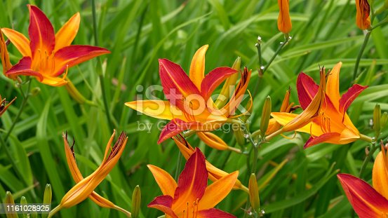Close up of blooming day-lily flowers or Hemerocallis flower in sunny day. Hemerocallis fulva on green leaves background in summer. Flower Bed with beauty day-lily flowers in garden.