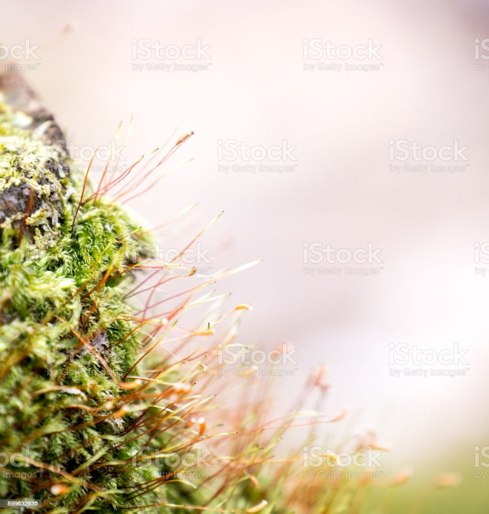 Close up of blooming green moss. Blur background stock photo