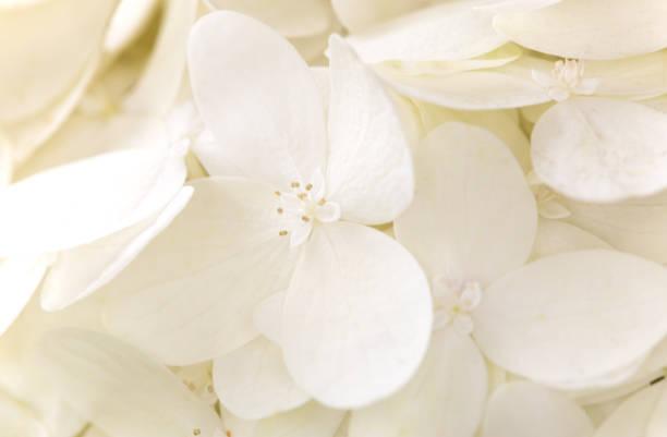 Close up of blooming white sweet summer hydrangea flowers picture id1021325934?b=1&k=6&m=1021325934&s=612x612&w=0&h=7qiwazcoq3zsefbsndljucemswm uwgwr8wfo0w37ki=