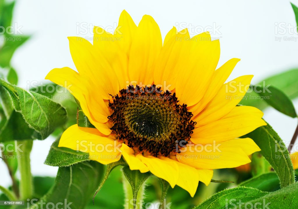 close up of blooming yellow sunflowers royalty-free stock photo
