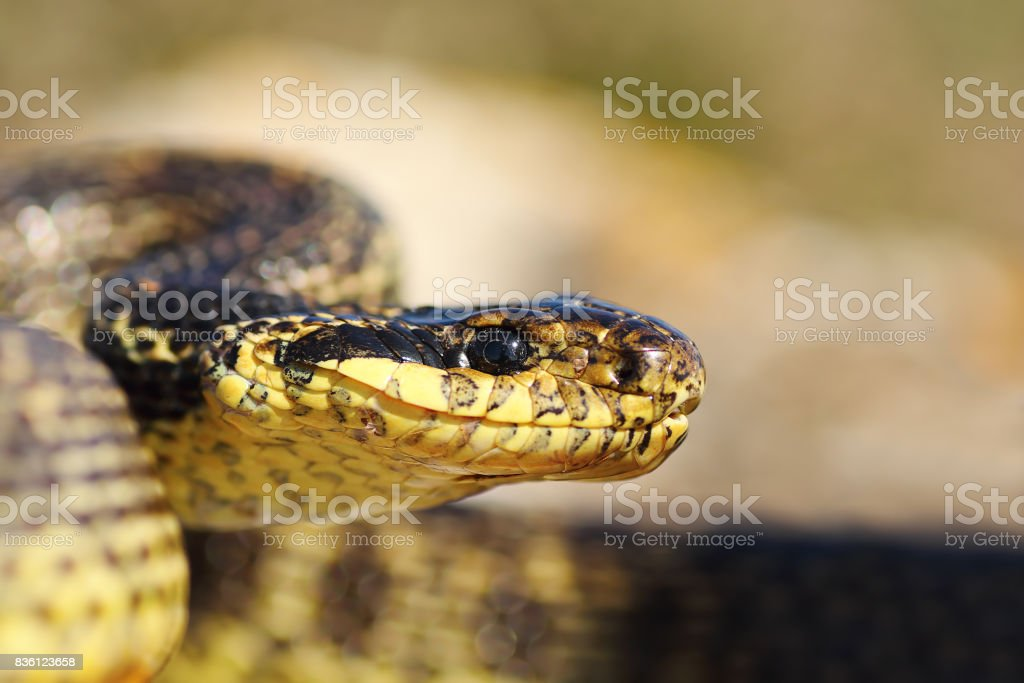 close up of blotched snake head stock photo