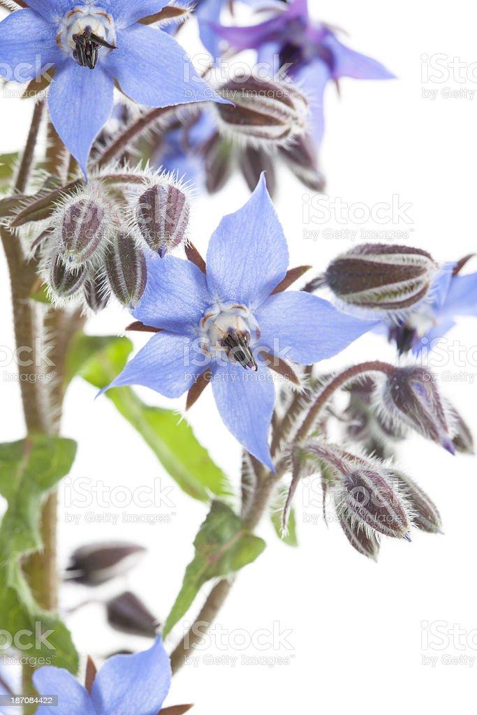 Close up of Blue Borage Flowers (Borago officinalis). royalty-free stock photo