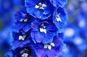 Blue Delphinium flowers.