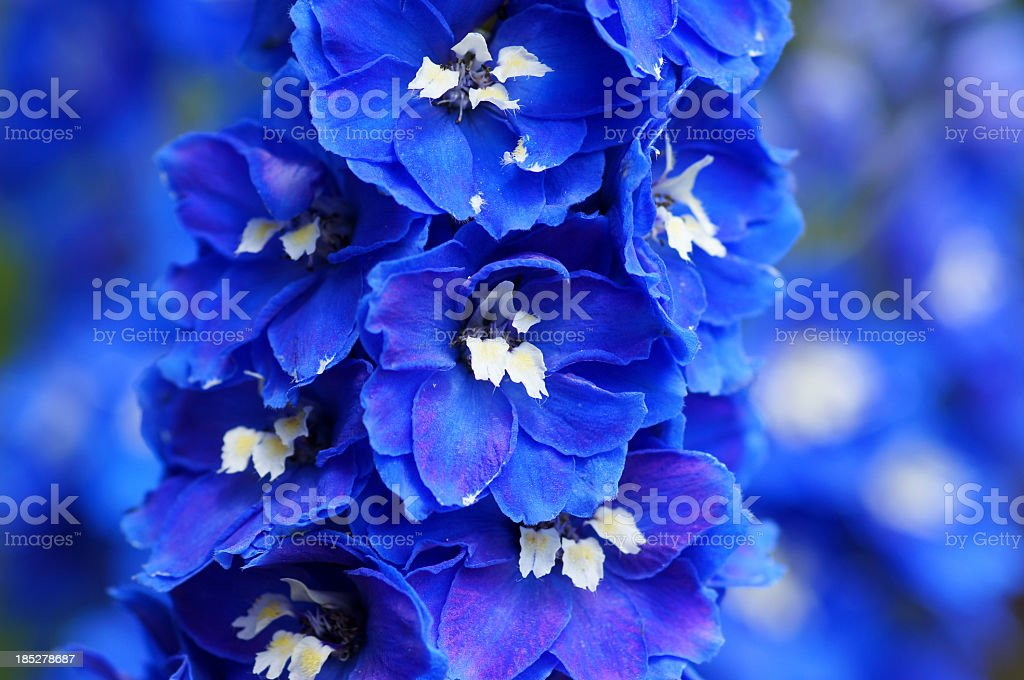Close up of blue delphinium flowers with blurred background stock photo