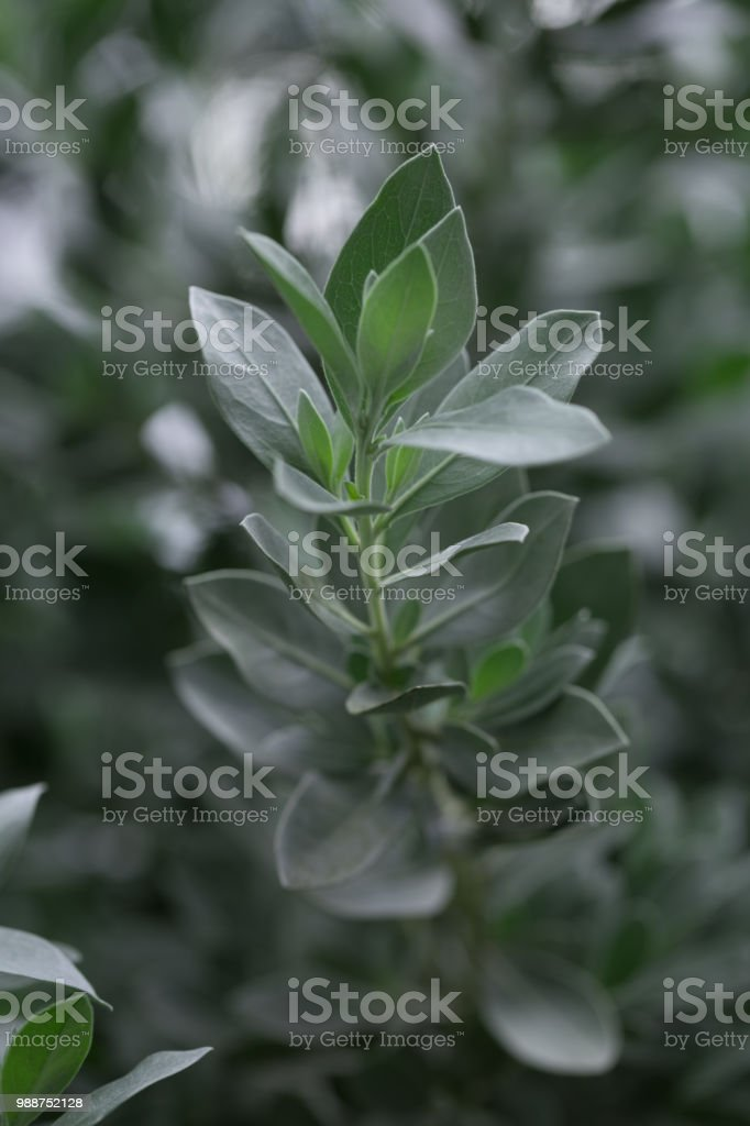 Close up of blue green leaves on branch stock photo