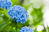 庭に青いアジサイの花のクローズ アップ
