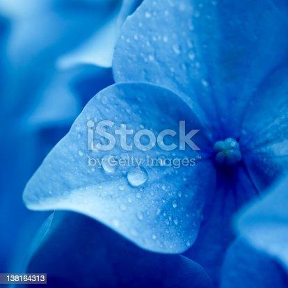 Hydrangea flower close-up.