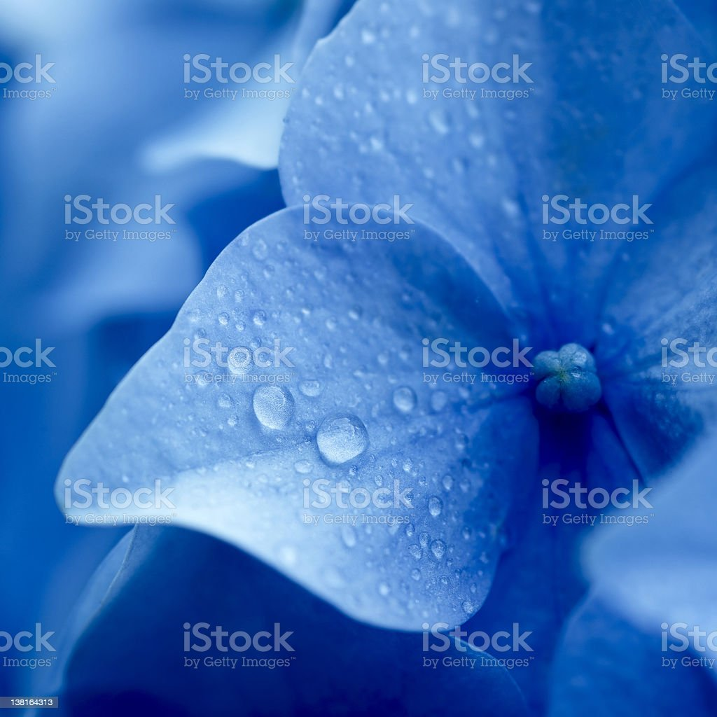 Close up of blue hydrangea flower stock photo