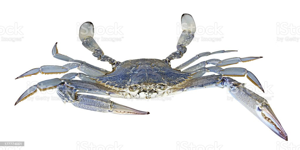 Close up of blue swimmer crab stock photo