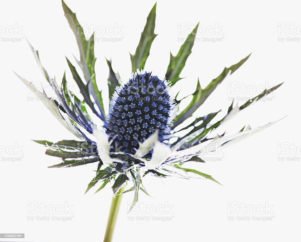 Close up of blue thistle plant stock photo