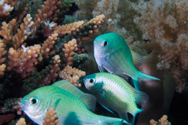 Close up of Blue-green Chromis fish stock photo