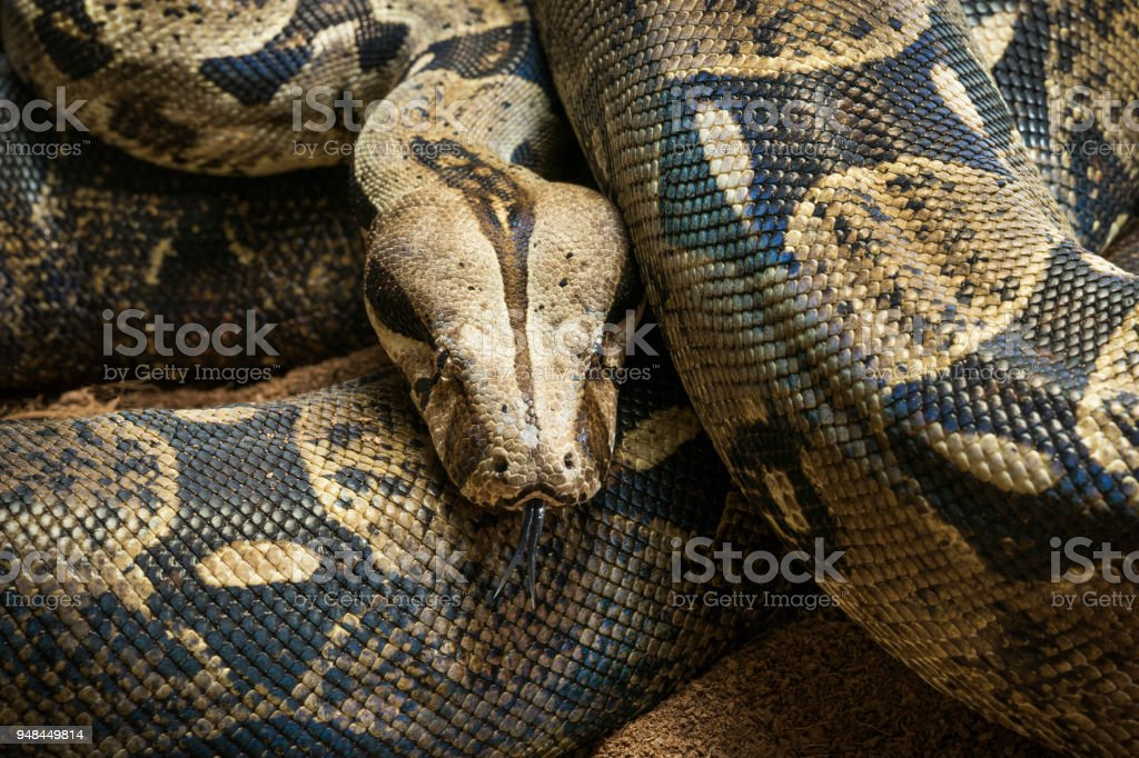 Close up of Boa constrictor imperator. Nominal Colombia - colombian redtail boas, females – zdjęcie