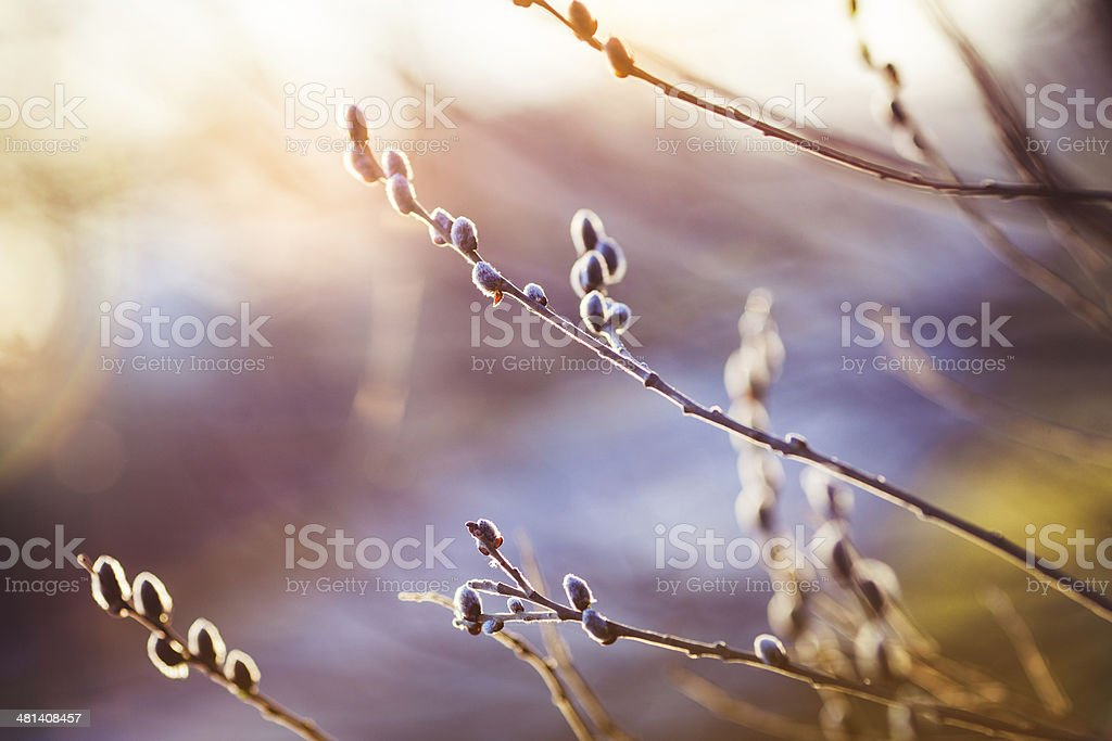 Close up of branch with catkins stock photo