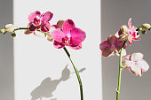 Close up of bright pink phalaenopsis orchid against white background with unusual shadows and matte filter effect (selective focus)
