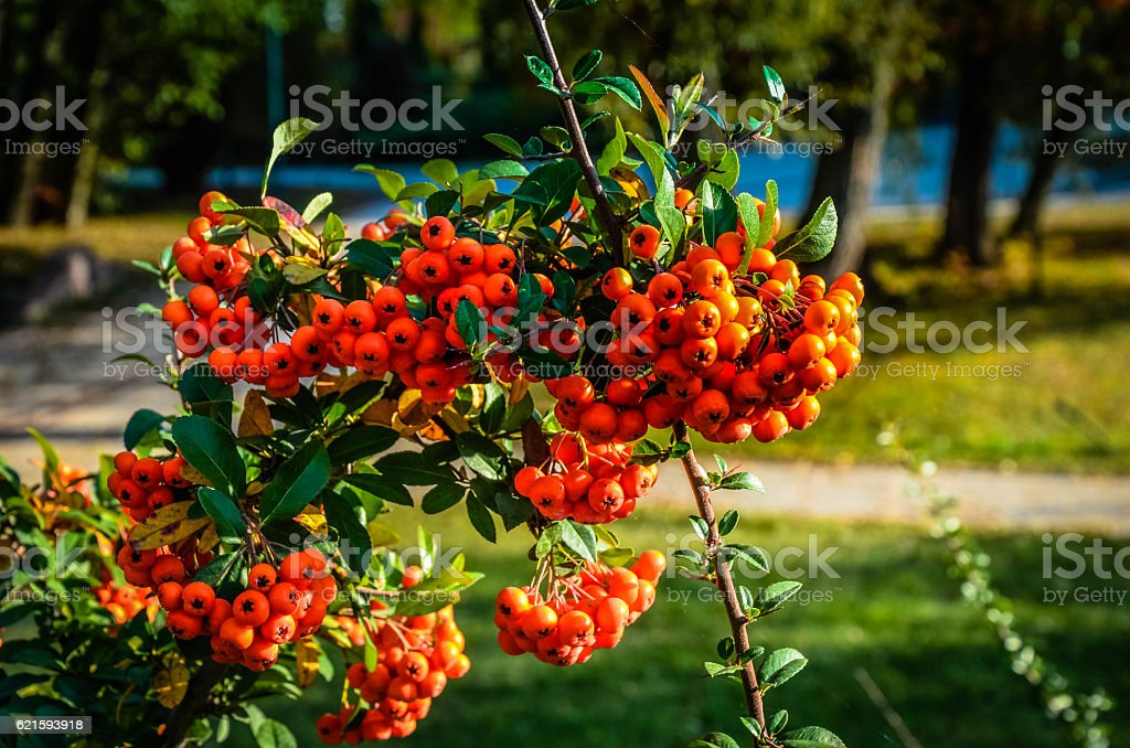 Close up of bright red pyracantha berries on tree - Photo
