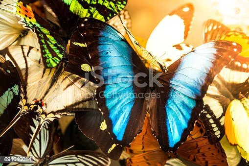 Close up image of a collection of different brightly coloured butterflies in a row. In the foreground is the largest butterfly in the group, and its wings are a vivd shade of electric blue. Horizontal colour image with copy space.