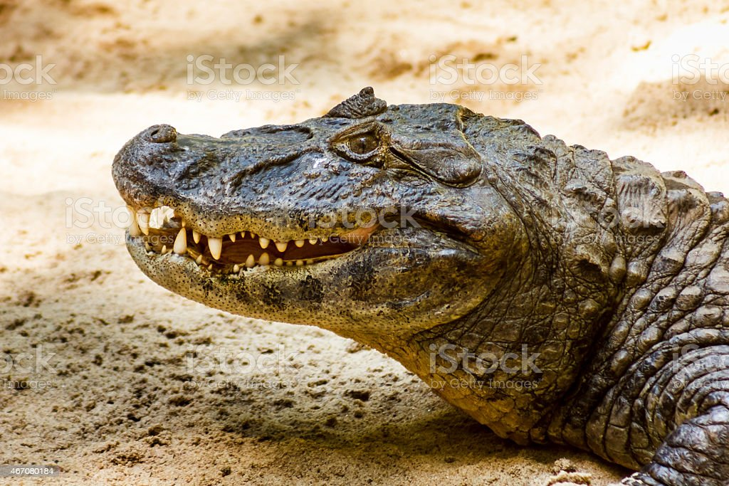 Close up of Broad Snouted Caiman stock photo