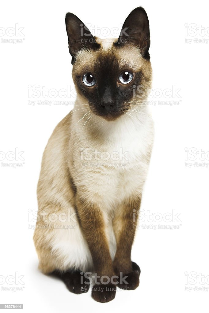Close up of brown and white sitting Siamese cat stock photo