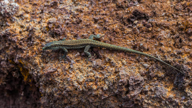 Close up of brown lizard of Madeira island, known as