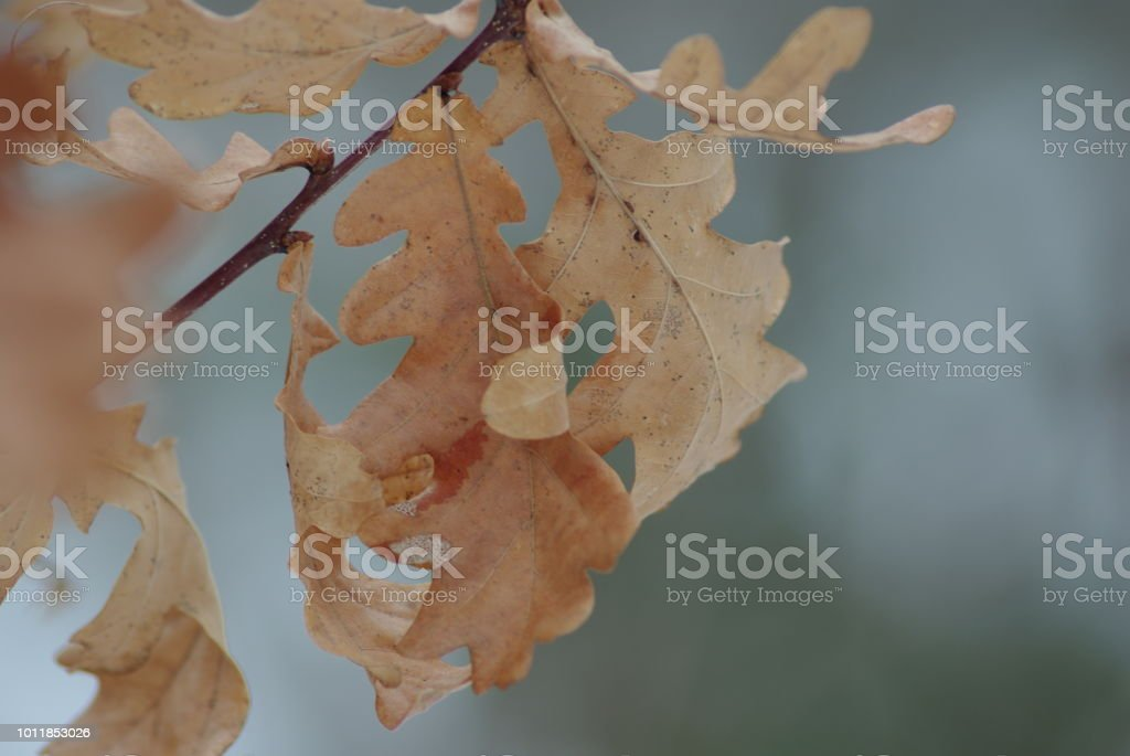 Close up of brown oak leaves on the branch in winter. stock photo