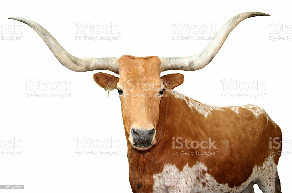 Close up of brown spotted Texas longhorn stock photo