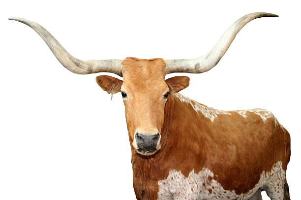 Longhorns du Texas - Photo