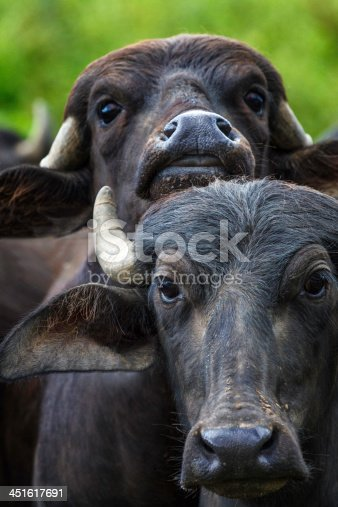 Close up of bufala or buffalo cows in the meadows