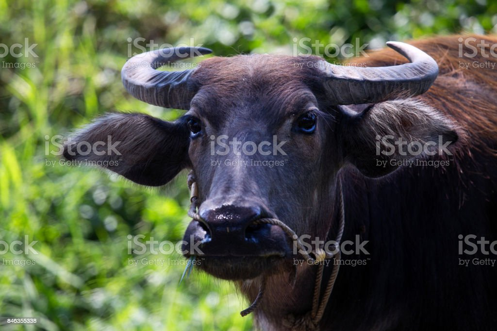 Close up of bufala or buffalo cows in the meadows stock photo